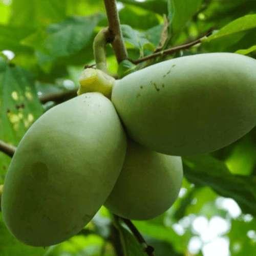 Paw Paw Cell Reg Североамериканская папайя оставляет раковые клетки