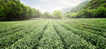 формы зеленого чая картинка